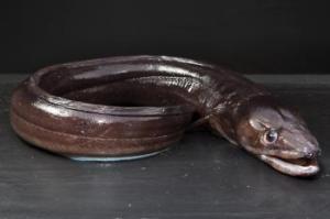 pescado congrio