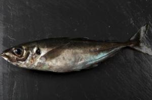 pescado jurel
