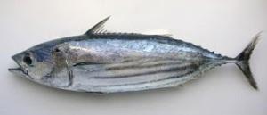 pescado melva