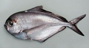 pescado palometa