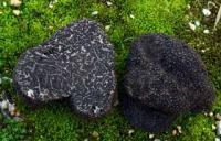 setas tuber melanosporum